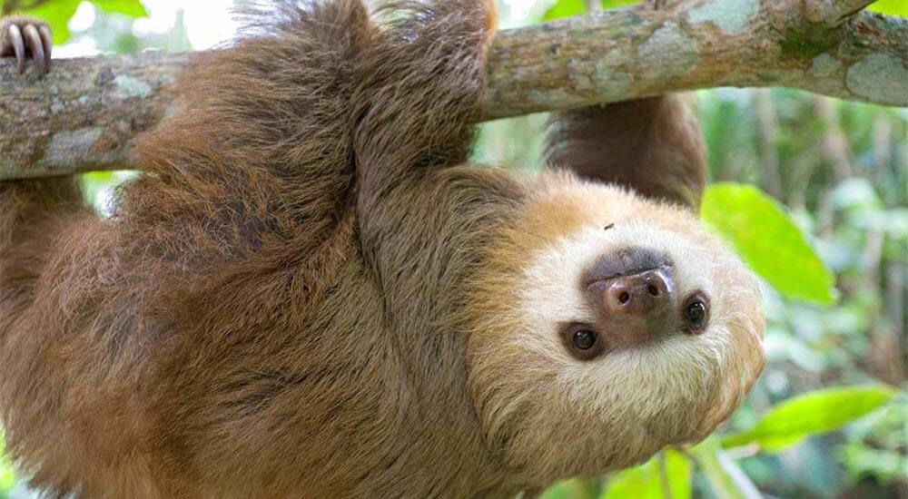 Three toed sloth - YouTube