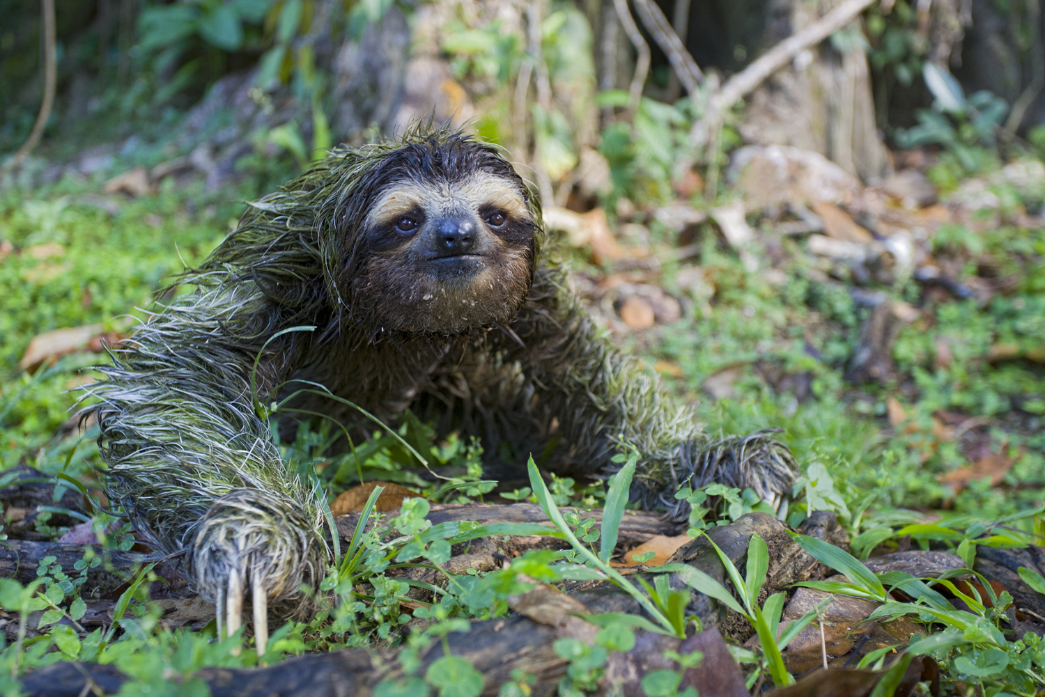 Why Do Sloths Poop On The Ground The Sloth Conservation Foundation