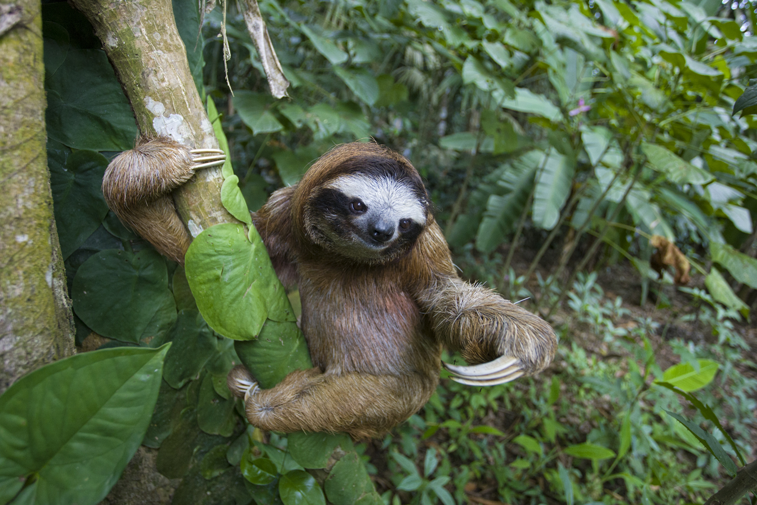 how fast does a three toed sloth move