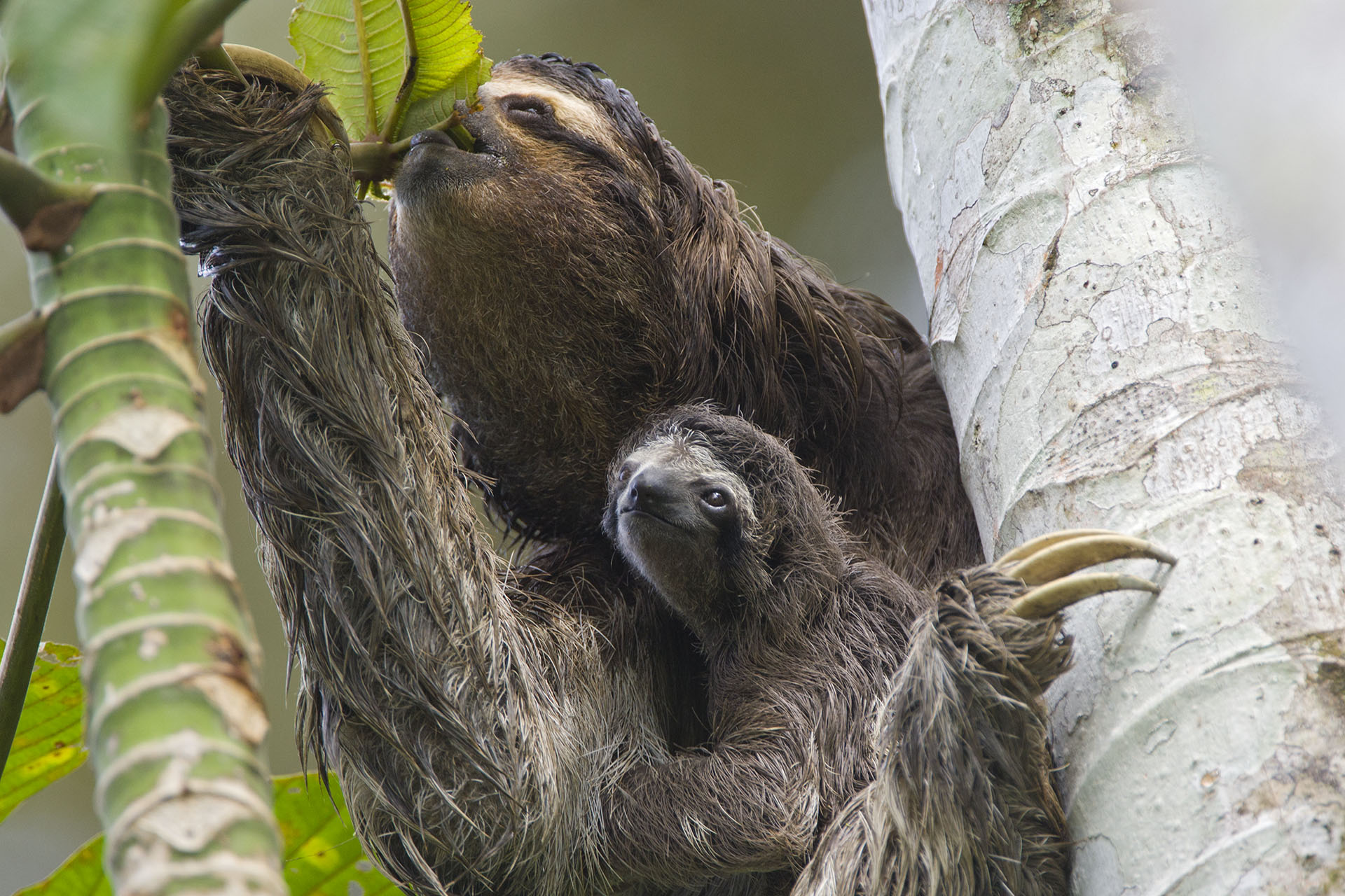 Thinking About Owning a Pet Sloth …Here is Everything You Need to Know