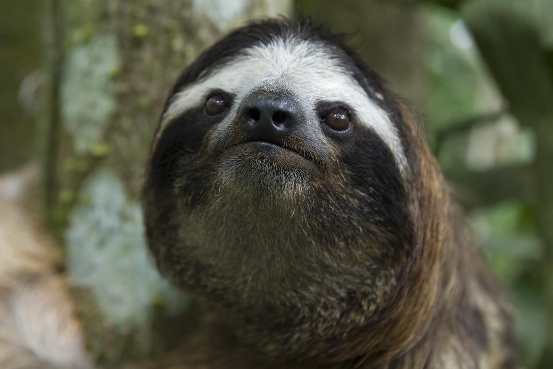 How do three toed sloths reproduce