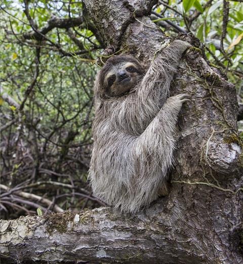 Pygmy three-toed sloth Bradypus pygmaeus Isla Escudo de Veraguas, Panama