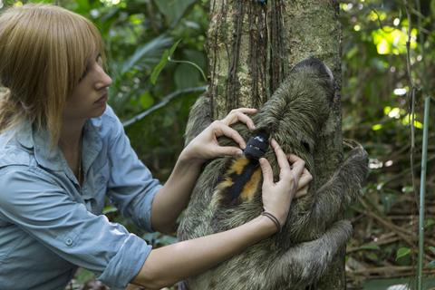 """Brown-throated Three-toed Sloth Bradypus variegatus Rebecca Cliff, sloth biologist, releasing sloth wearing """"sloth backpack"""" Aviarios Sloth Sanctuary, Costa Rica *Model release available"""