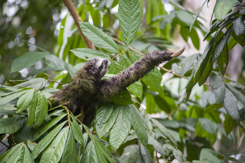 Brown-throated Three-toed Sloth Wild sloth climbing trees in forest at Sanctuary Aviarios Sloth Sanctuary, Costa Rica