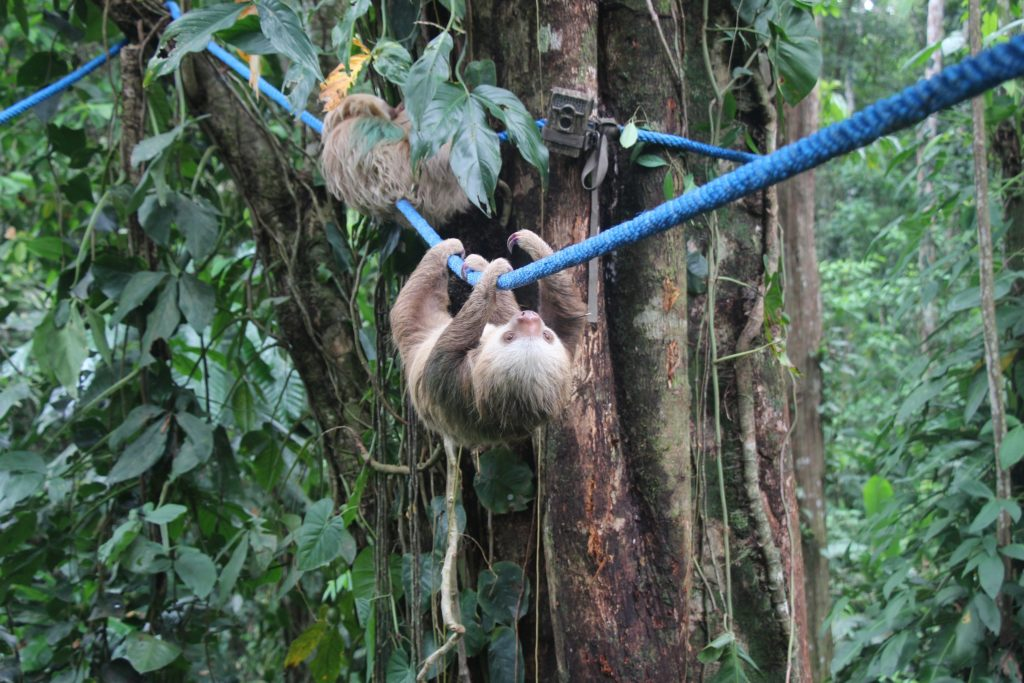 Camera traps do not detect wild sloths using our Sloth Crossing canopy bridges