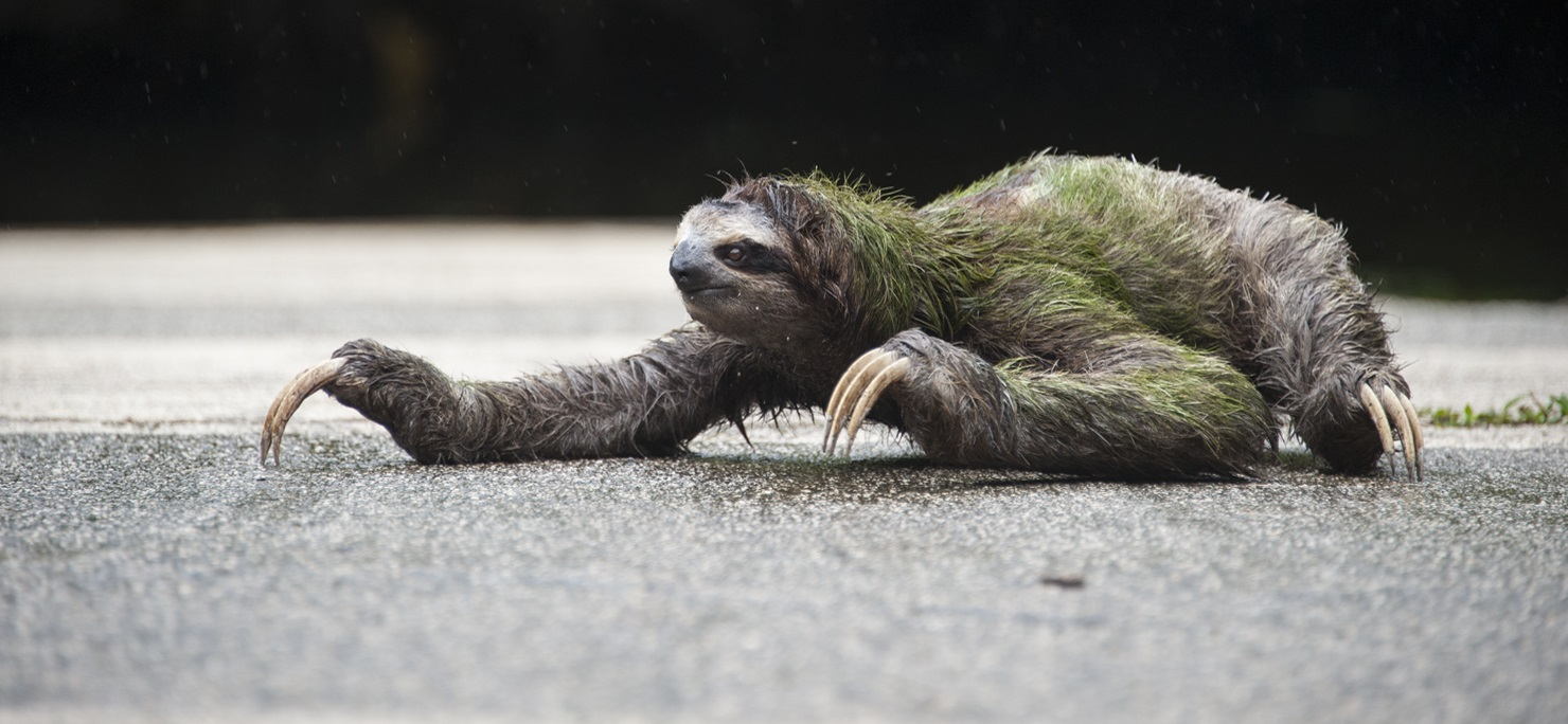 Brown-throated Three-toed Sloth Wild sloth crossing pavement at Sanctuary Aviarios Sloth Sanctuary, Costa Rica