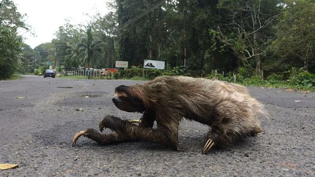 Image of sloth crossing road