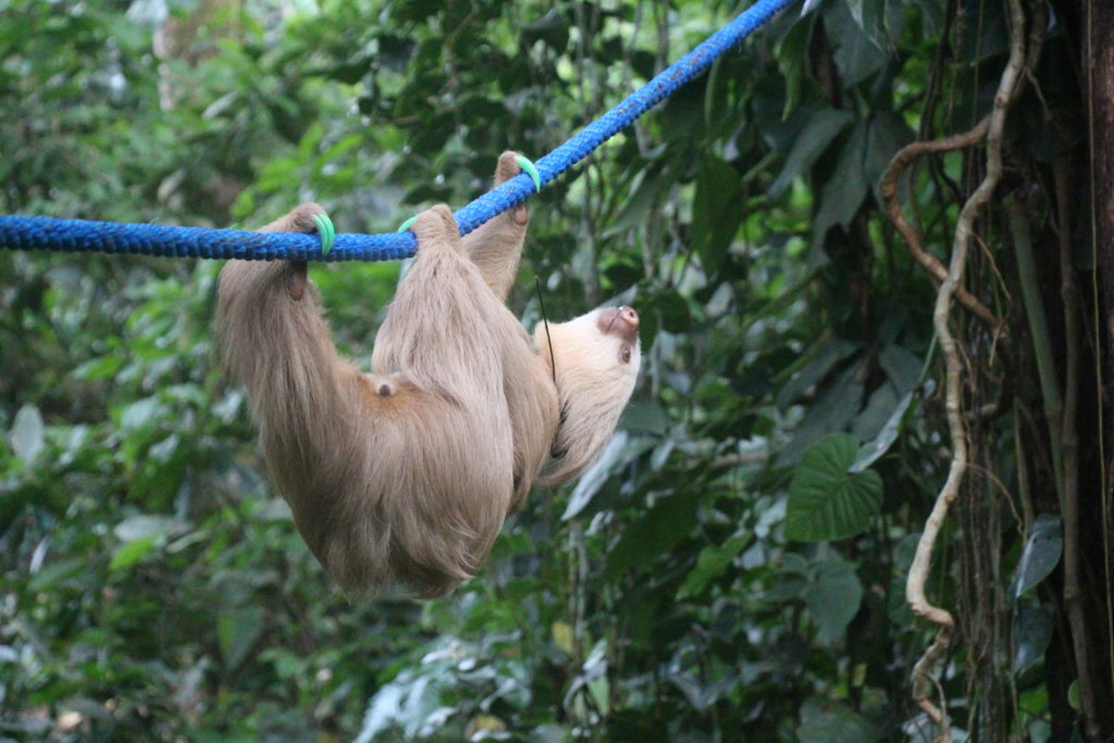 Sloth using a canopy bridge