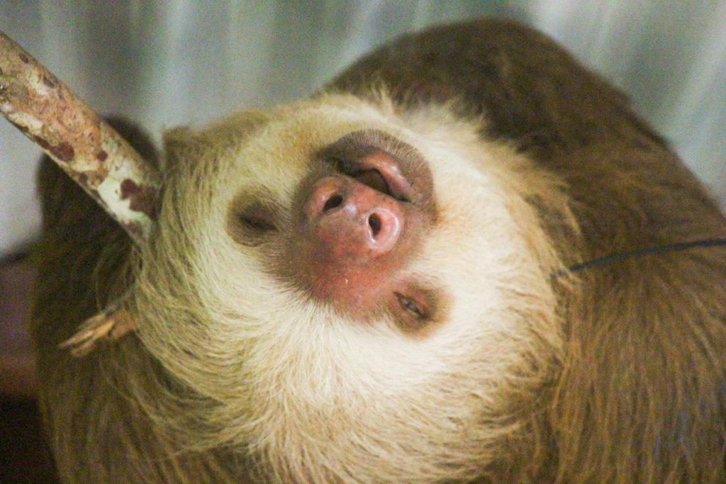 funny sloth sleeps