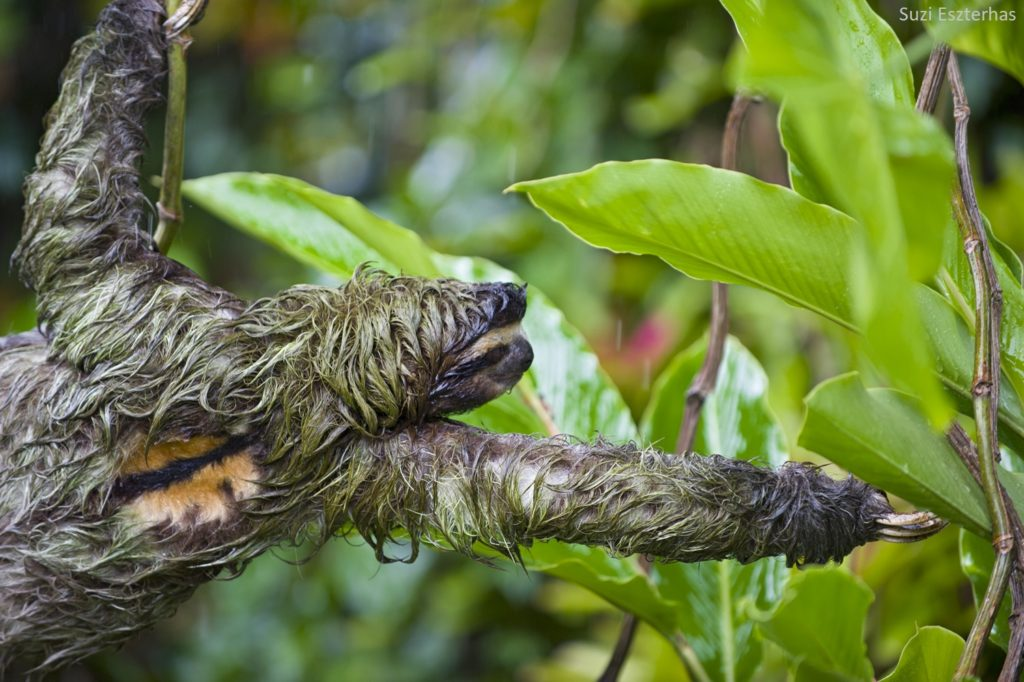 world wildlife day sloth green algae fungi