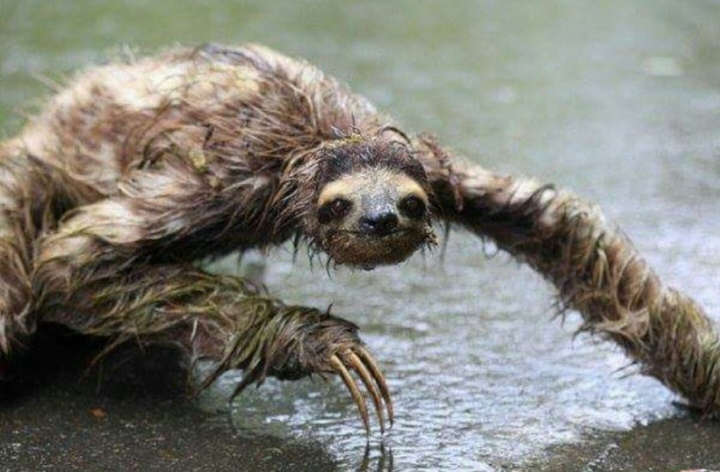 Image showing wet sloth