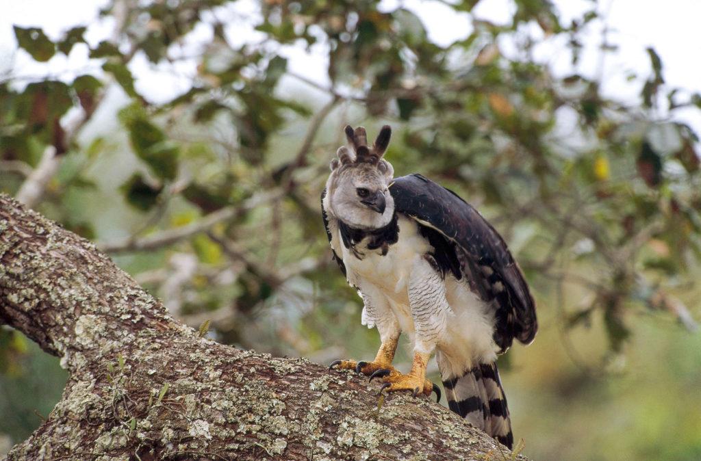 sloth harpy eagle
