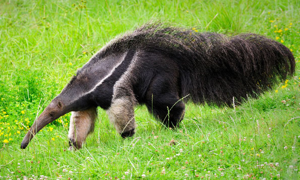 giant anteaters