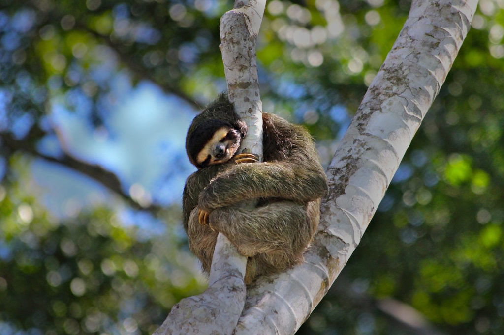 rainforest sloth