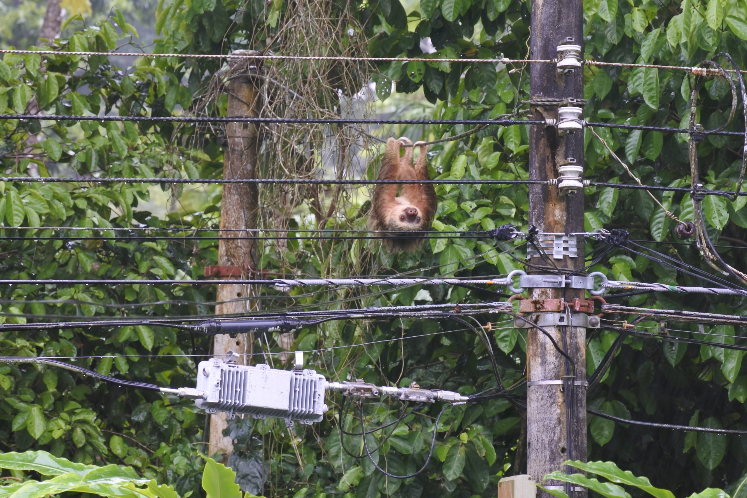 sloth on power line