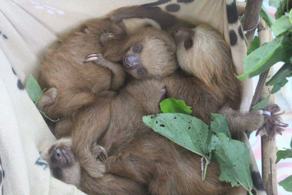 a snuggle of baby sloths
