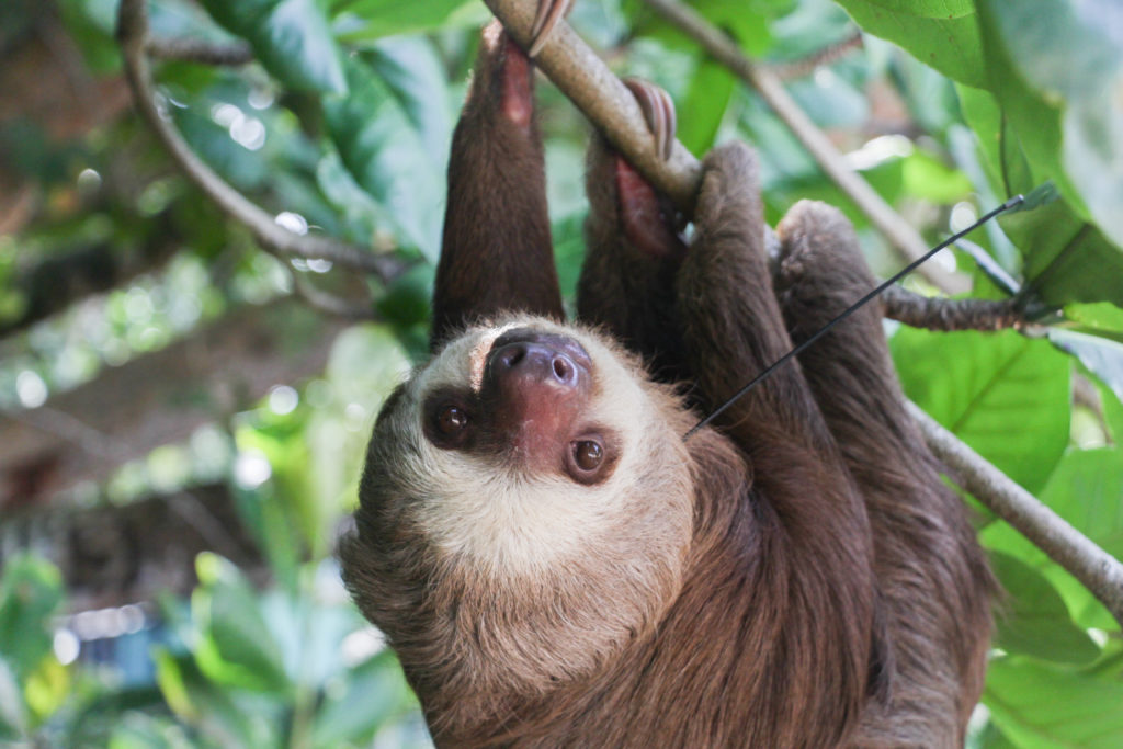 sloth with radio tracking collar posy-released monitoring