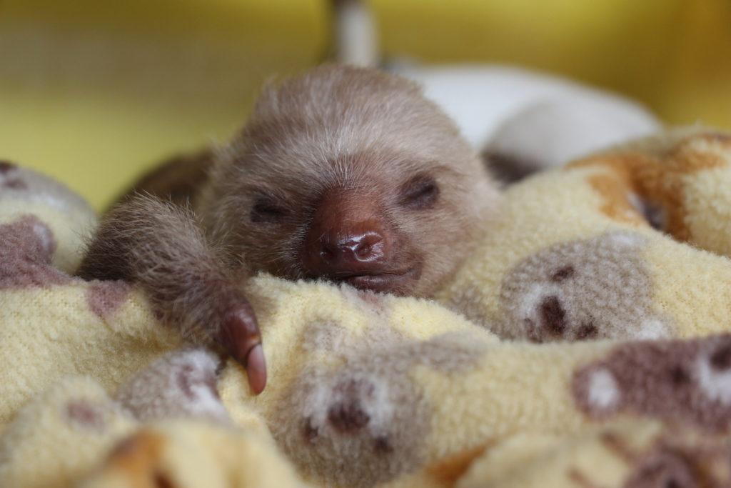 baby sloth with deformity