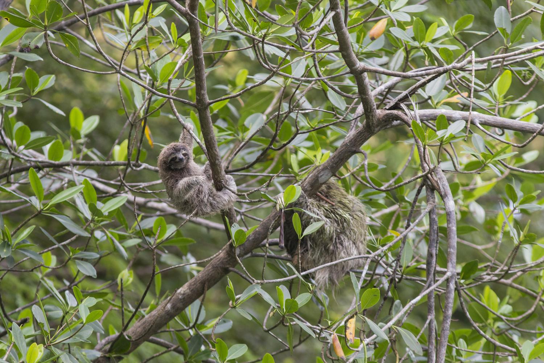 baby pygmy sloth