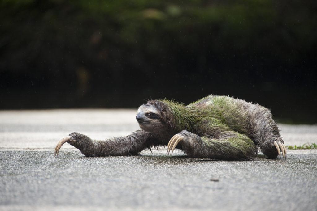 Sloth road wildlife bridge