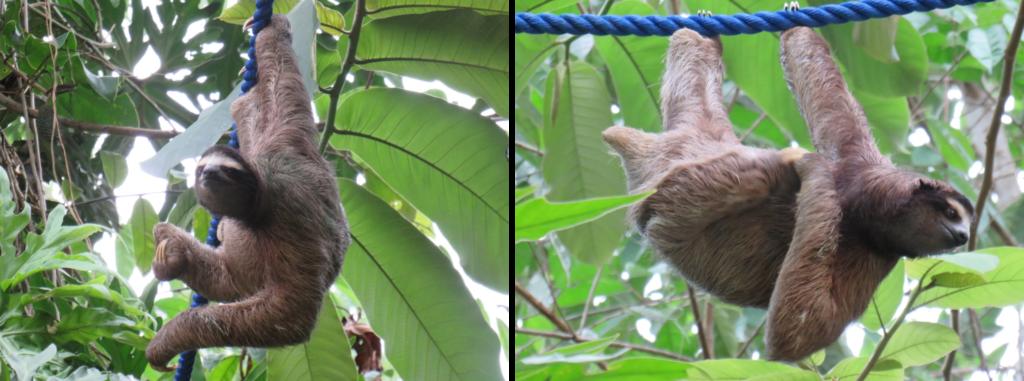 sloth on a wildlife bridge