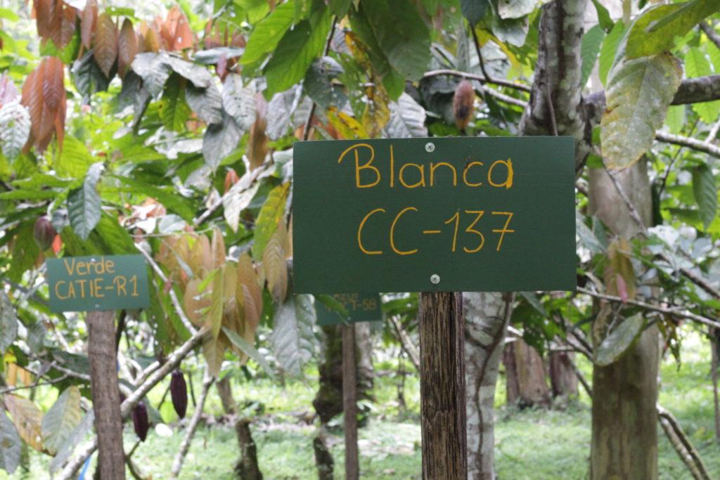 cacao farm chocolate costa rica