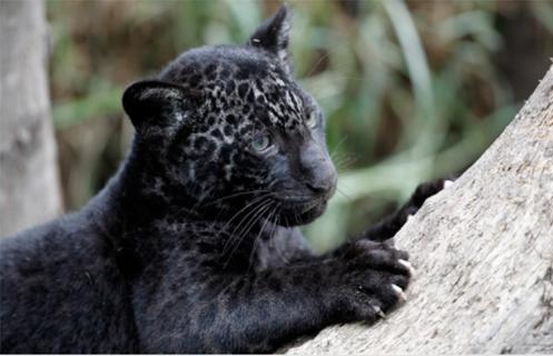 black jaguar cub melanistic