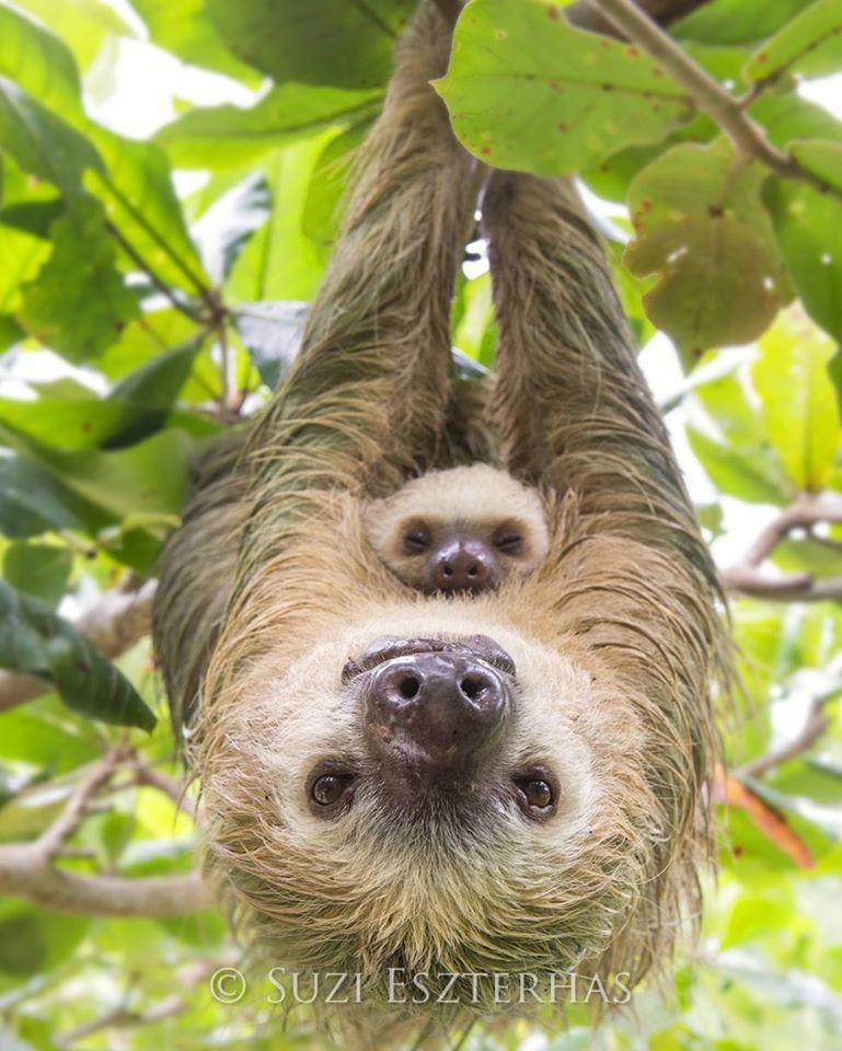 suzi sloth