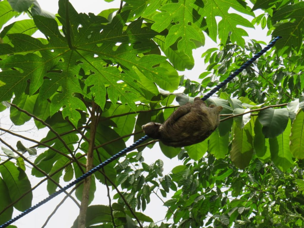 three fingered sloth using canopy rope bridge