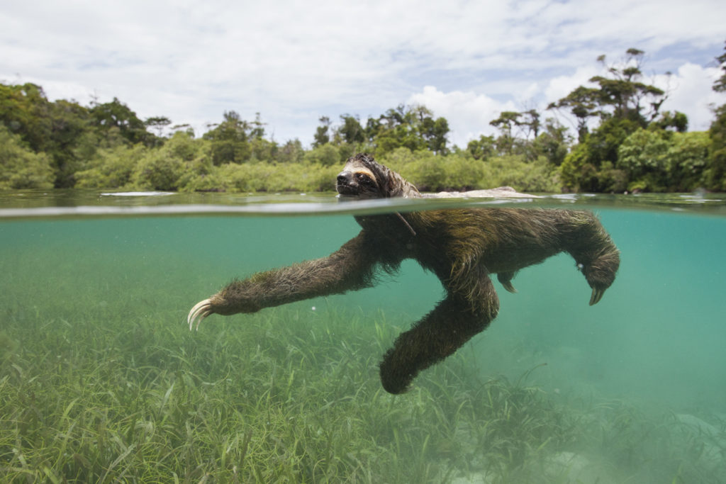 suzi pygmy sloth