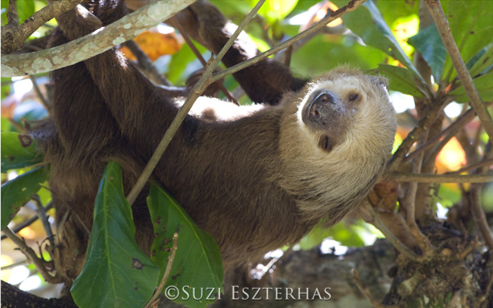 two-toed sloth sleeping in beach almond tree