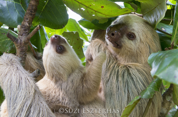 sloth mother baby two-toed sloth