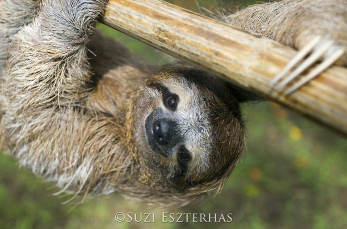 three-fingered three-toed sloth hanging smiling