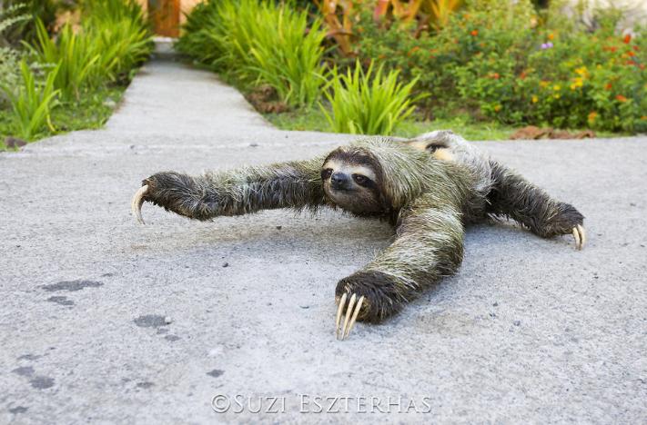 three-fingered three-toed sloth crawling on ground