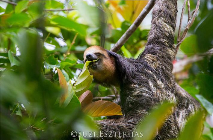 three-fingered three-toed sloth eating leaves