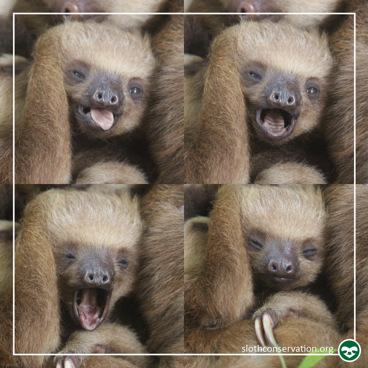 baby two toed sloth yawning