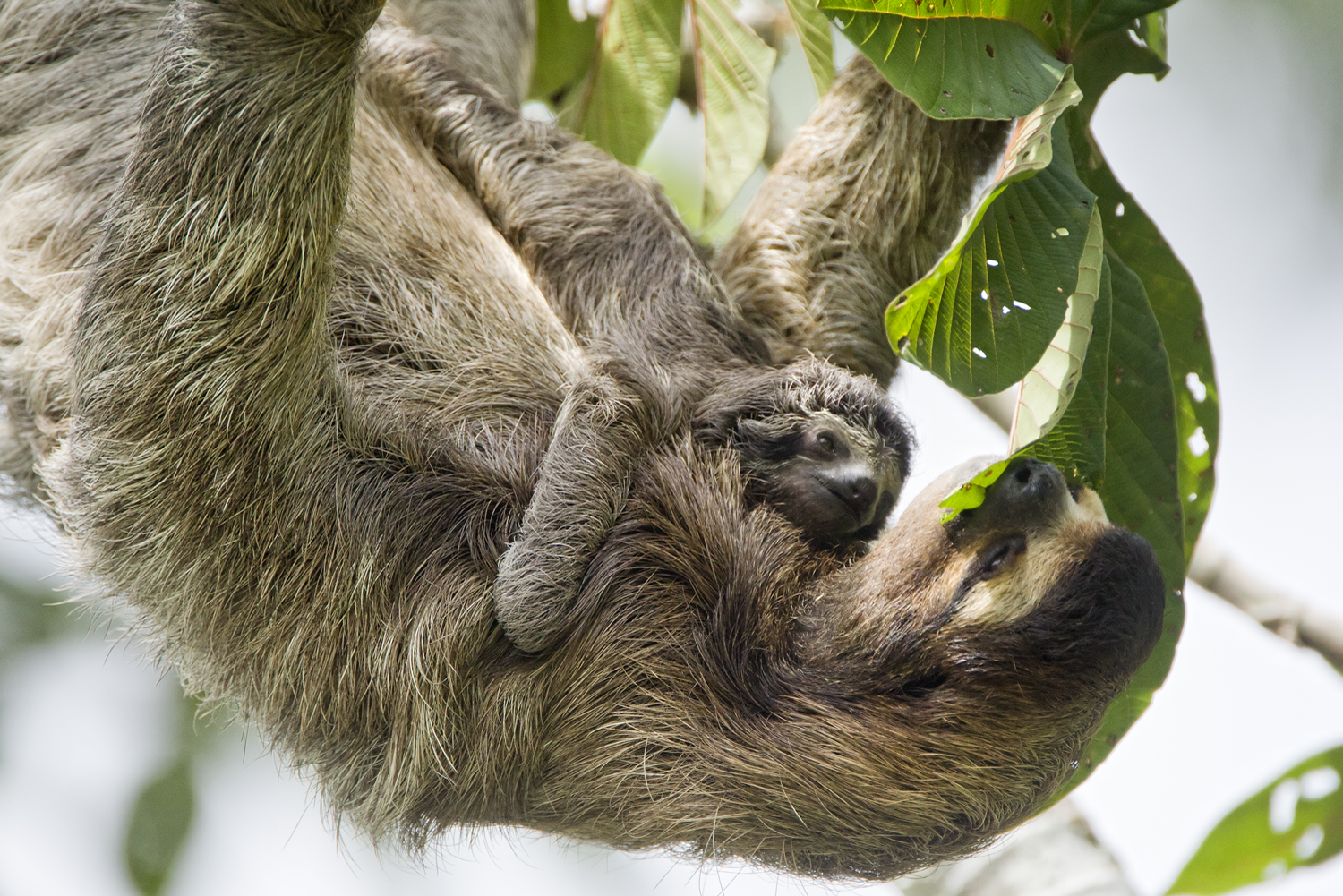 baby sloth feeding image picture