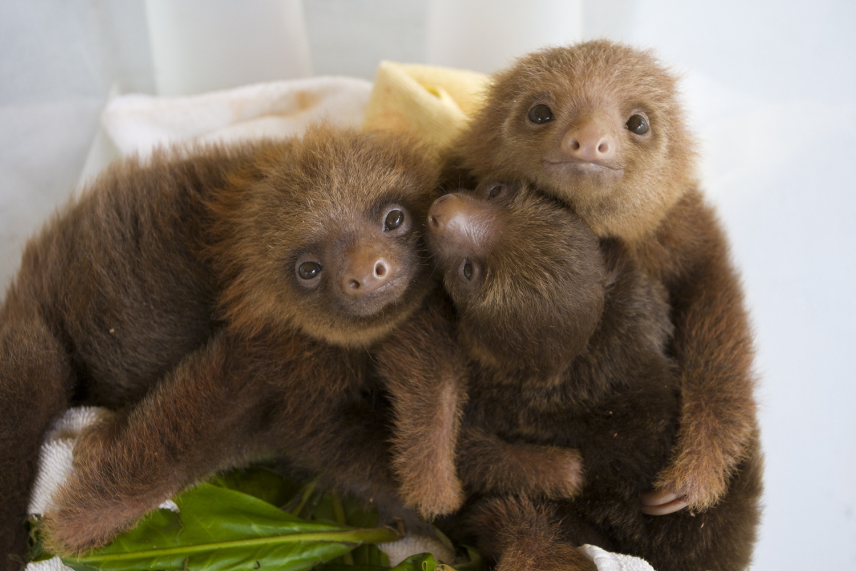 baby sloth too cute pics