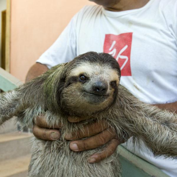 Brown-throated Three-toed Sloth  Bradypus variegatus Caretaker, Santiago Chaggo, holding injured sloth that fell from tree Aviarios Sloth Sanctuary, Costa Rica