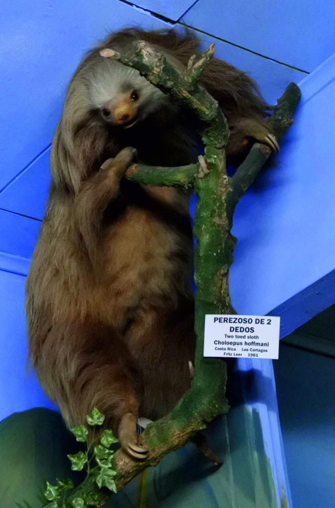 taxidermy museum sloth
