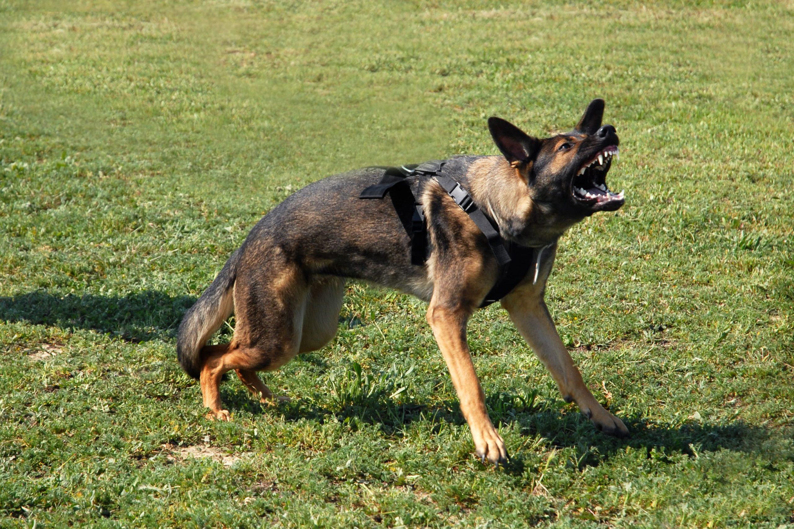 dog aggressive attack