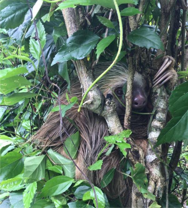 sloth in fence deforestation