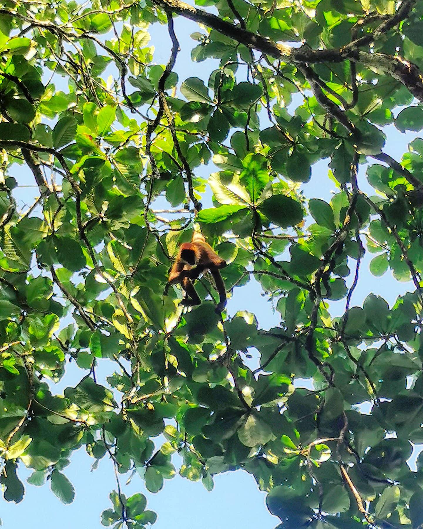 spider monkey tortuguero